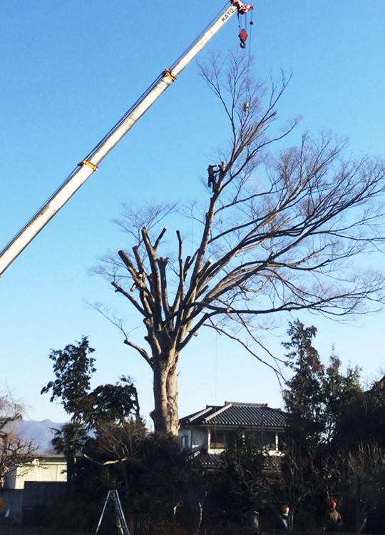 高木の伐採